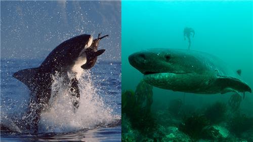수면 위로 솟구쳐 올라 물개를 사냥하는 백상아리(왼쪽)와 칠성상어