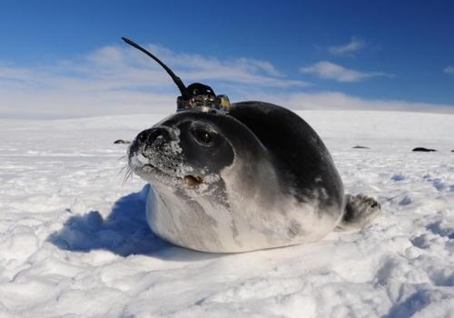 센서를 장착한 코끼리 바다 물범