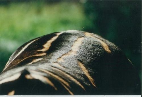 얼룩말이 검은 줄무늬 부분의 털을 세운 모습