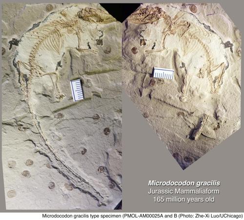 1억6천500만년 전 미크로도코돈 화석