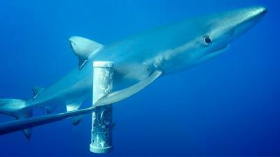 카메라가 부착된 먹이깡통을 치고 지나가는 청새리상어