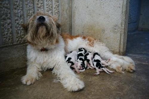 지난해 장모종 바둑이 삽살개가 새끼 7마리를 출산했다. 이중 2마리가 단모종이다.