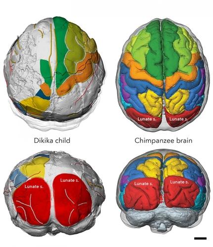 디키카 유아와 침팬지 두뇌 월상구(Lunate s.) 위치 비교
