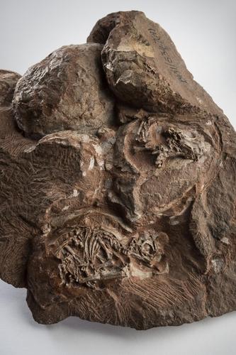 1976년 골든게이트 국립공원에서 발굴된 공룡 알 둥지 화석 속 배아