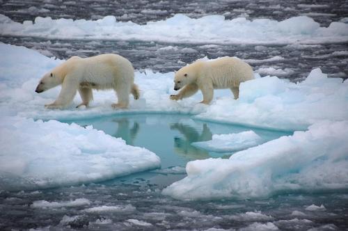 북극 얼음 위의 북극곰