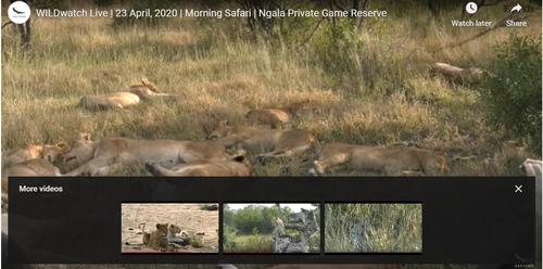 23일(현지시간) 사파리 온라인 스트리밍으로 볼 수 있는 낮잠 자는 사자들