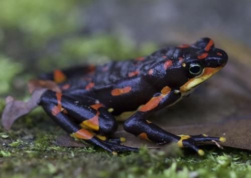 코스타리카와 파나마에 서식하는 멸종위기 종 '할레퀸 개구리'