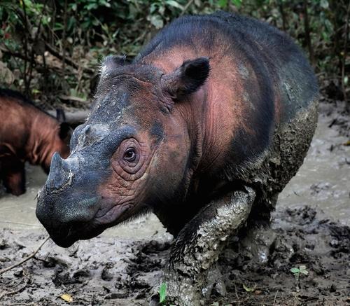 80여 마리밖에 남지 않은 멸종위기 종 '수마트라 코뿔소'