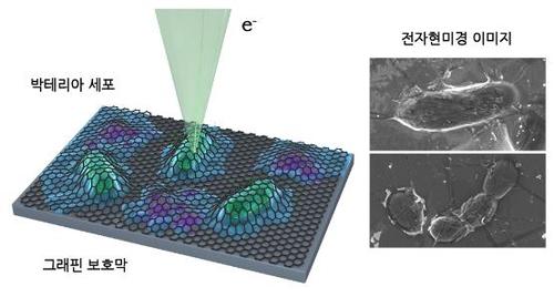 그래핀 보호막 이용한 세포 관찰 기술 모식도