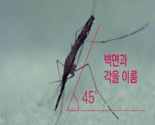 중국얼룩날개모기 암컷 성충 모습