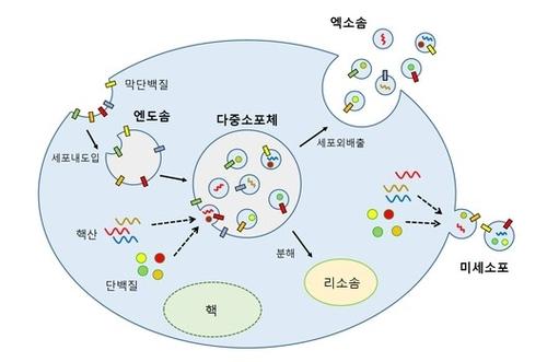 엑소좀 생성 과정