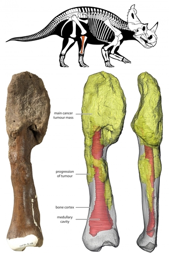 센트로사우루스 골육종 화석