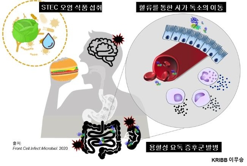 용혈성요독증후군(HUS)을 일으키는 독소의 장기 손상 경로