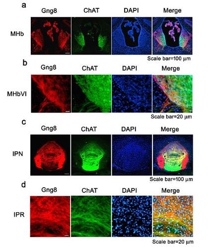 지적장애 환자의 유전체를 분석해 발굴한 GNG8 유전자의 뇌 내 발현 모습