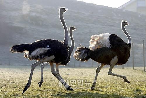 날지 못하는 가장 큰 새 타조
