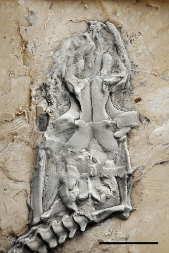 M. 프레이 두개골