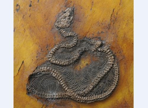 독일 메셀 피트에서 발굴된 비단뱀(M. 프레이) 최고 화석