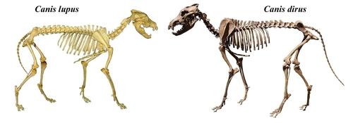 회색늑대(왼쪽)와 다이어 울프 골격 비교