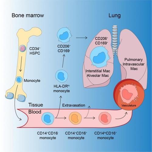 인간 대식세포의 발달 과정