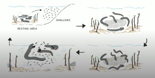 볼타 전기뱀장어 협력 사냥 과정