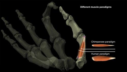 인간과 침팬지 무지대립근 차이