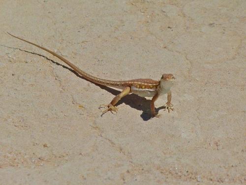 점박이 사막 도마뱀(spotted sand lizard)