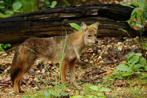 황금자칼(golden jackal)