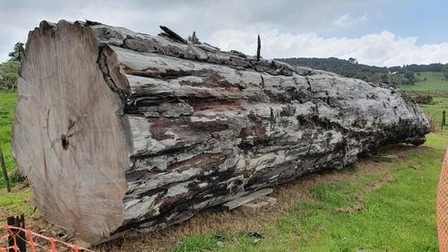 뉴질랜드 고대 카우리 나무 아화석