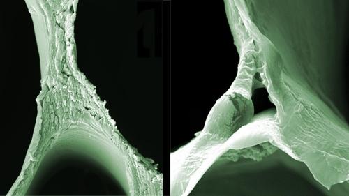 리그닌이 제거되기 전(왼쪽)과 후의 발사나무 목재 전자현미경 사진