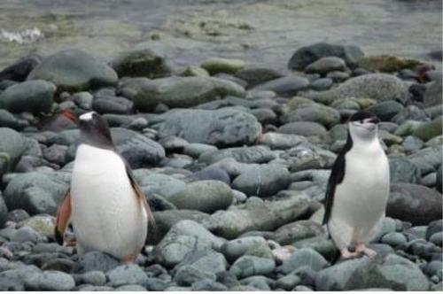 남극 나레스브키 포인트에서 촬영한 젠투펭귄과 턱끈펭귄