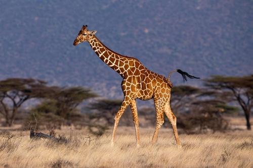 아프리카 초원의 기린