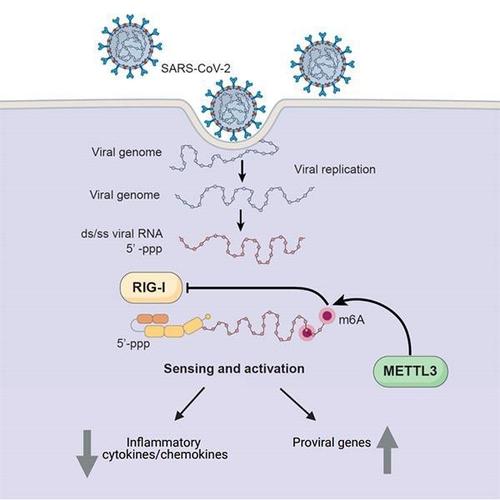 METTL3 효소가 신종 코로나의 RNA 메틸화를 유도하는 과정