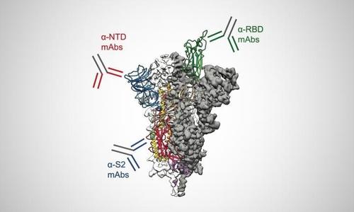 스파이크 단백질 구조와 항체 표적 영역