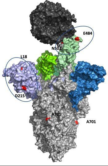 남아공 변이의 스파이크 단백질 돌연변이