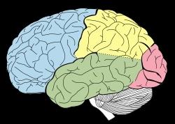 대뇌피질(파란색 부분 전두엽)