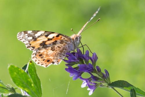 가장 먼거리 이동 곤충 '작은멋쟁이' 나비