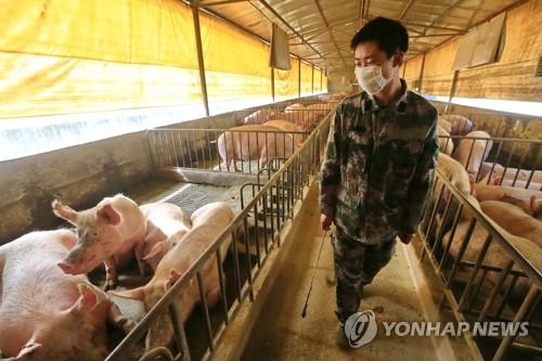 중국 쓰촨 지역의 돼지 농장. 기사와 무관한 사진